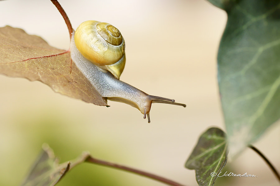 A snail running ... by Udrea Dan on 500px.com