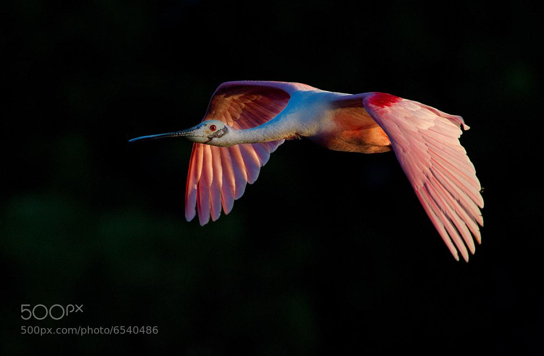 Photograph Roseate Spoonbill in Flight by Scott Helfrich on 500px
