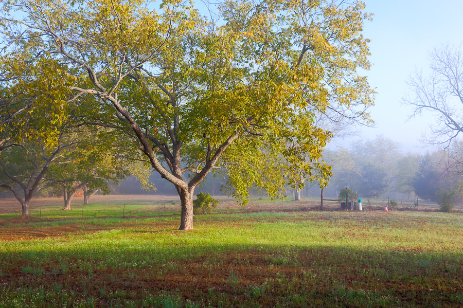 Photograph Pecan Tree at Sunrise, Flint, Texas. by Stanton Champion on 500px
