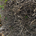 A twisted grouping of branches growing wild in Summerland, California.