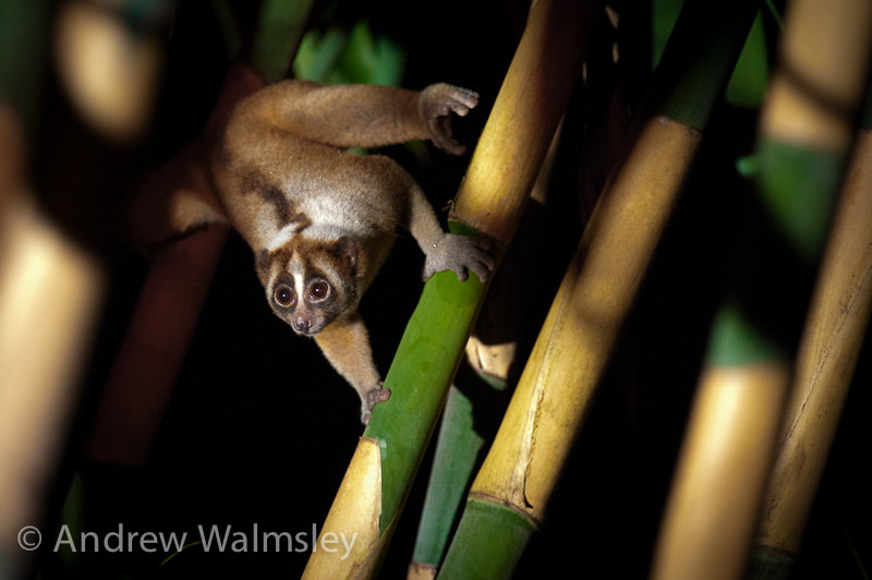 Photograph Loris loving bamboo by Andrew Walmsley on 500px