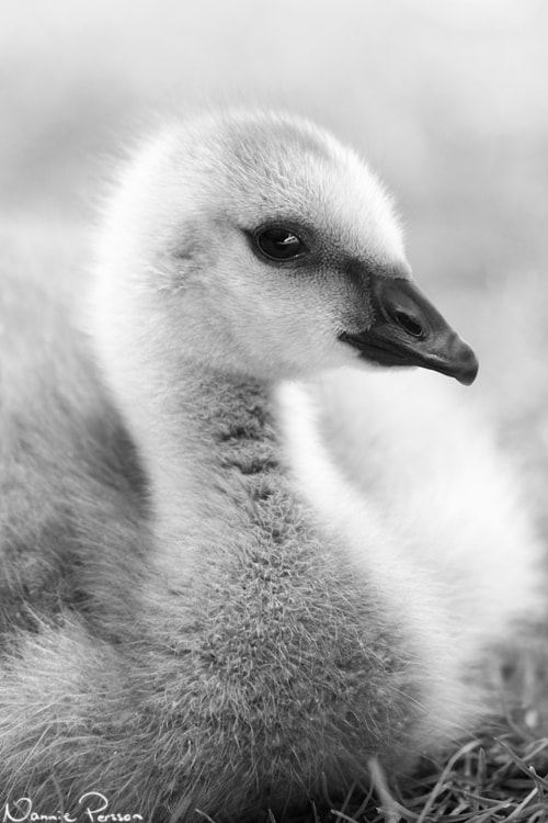 Photograph Barnacle gosling by Nannie Persson on 500px