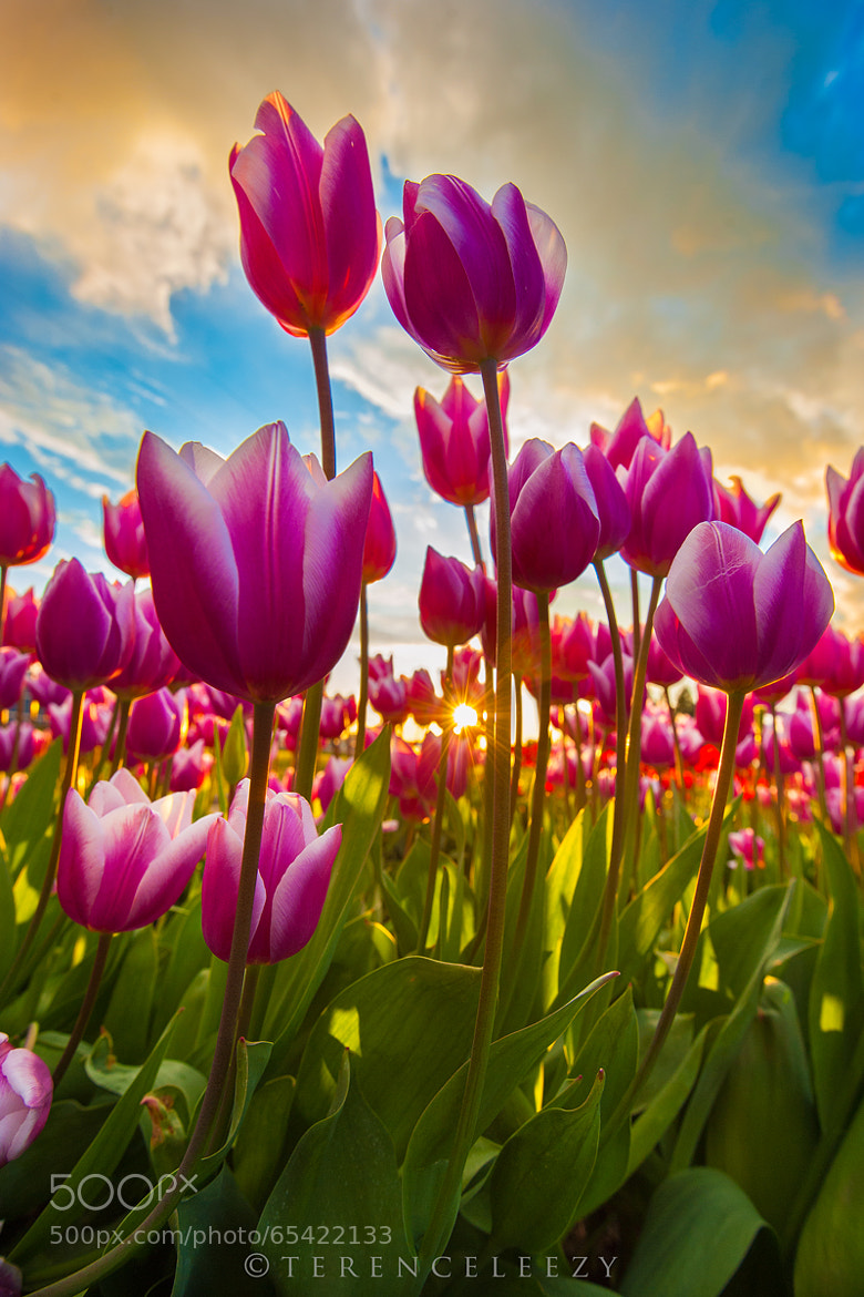 Photograph Tulips Galore! by Terence Leezy on 500px