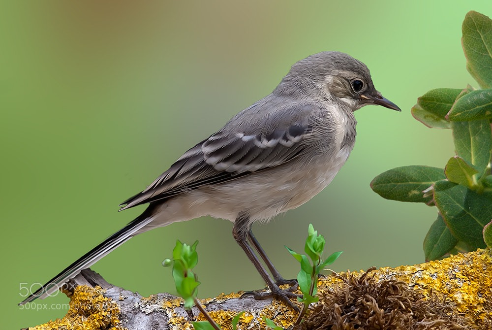 Photograph Little White Wagtail by Fred Bejins on 500px