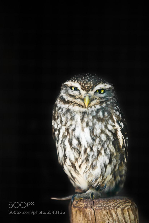 Photograph Little Owl (Steinkauz) by Christian Zang on 500px