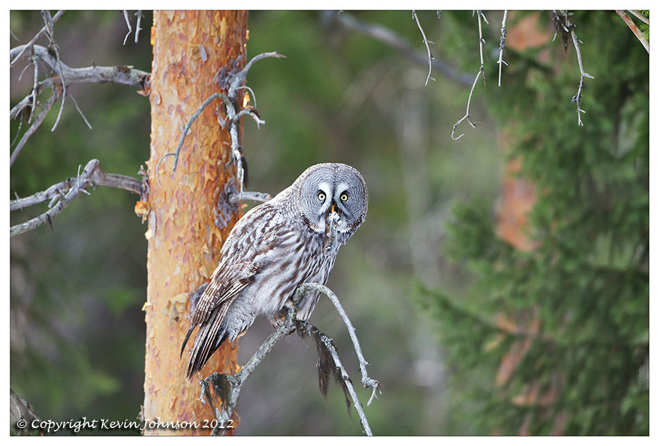 Photograph Great Grey Owl with vole by Kevin Johnson on 500px