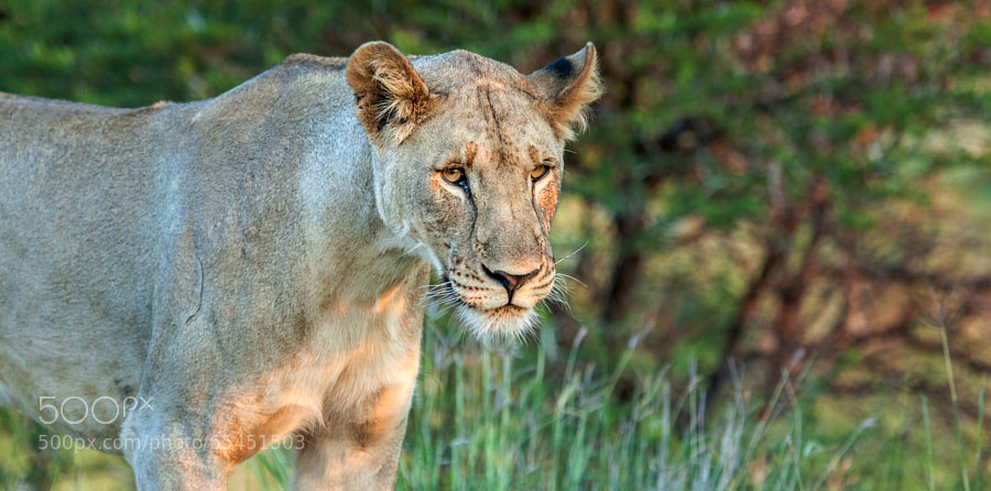 lioness, madikwe game reserve, south africa