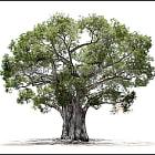 Baobab in Leaf 140x100cm Canvas print