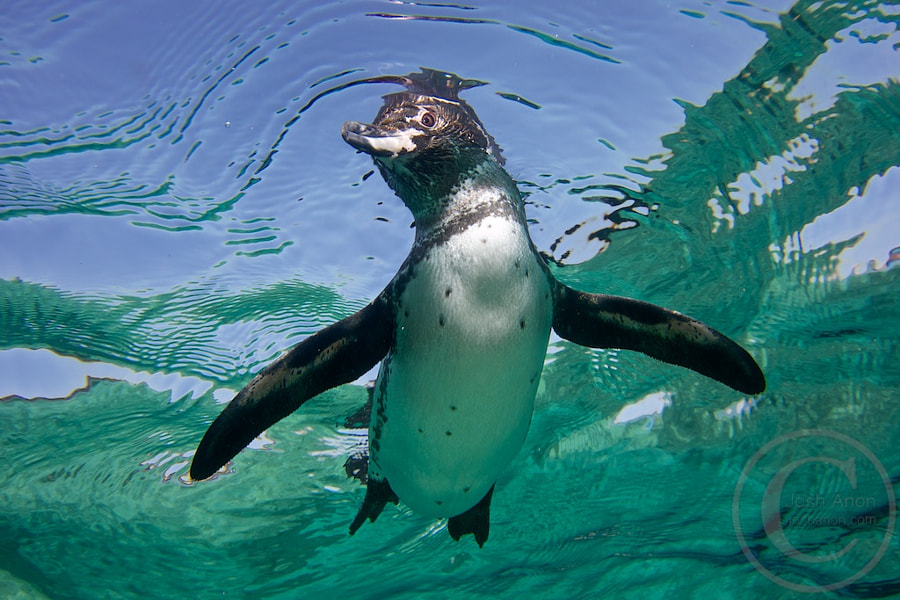 Swimming Penguin by Josh Anon on 500px.com