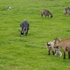 ������, ������: Goats grazing on a meadow