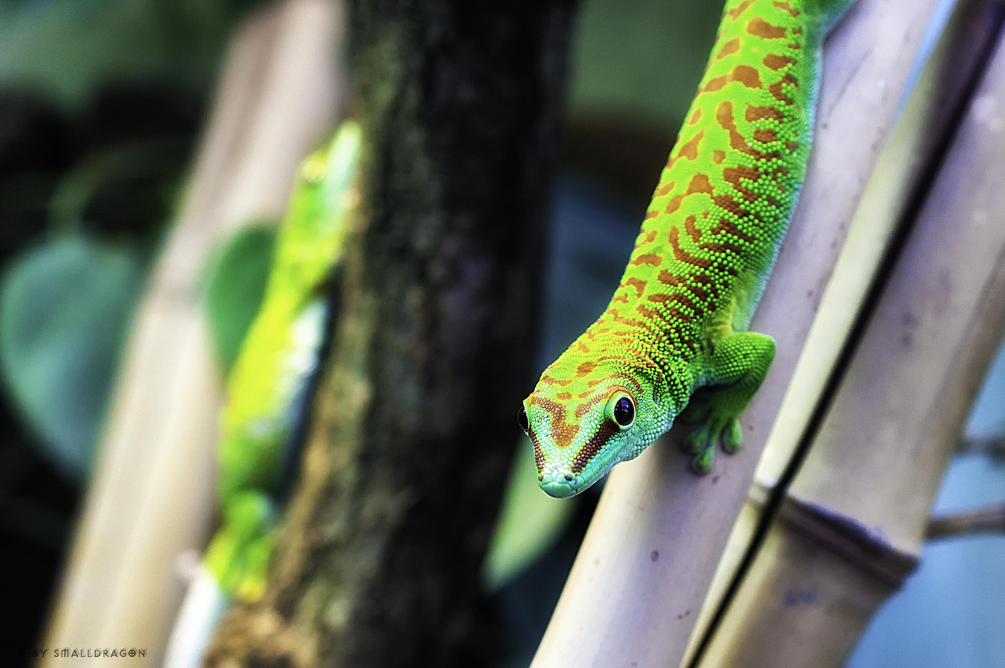 Photograph Madagascar Giant Day Gecko by Sven Reitis on 500px