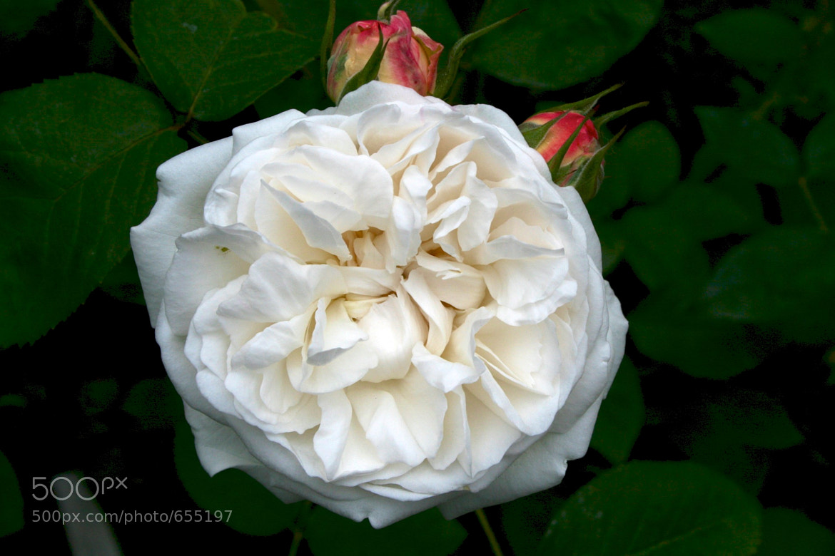 Photograph An Old Fashioned Rose by Peter Vangeen on 500px