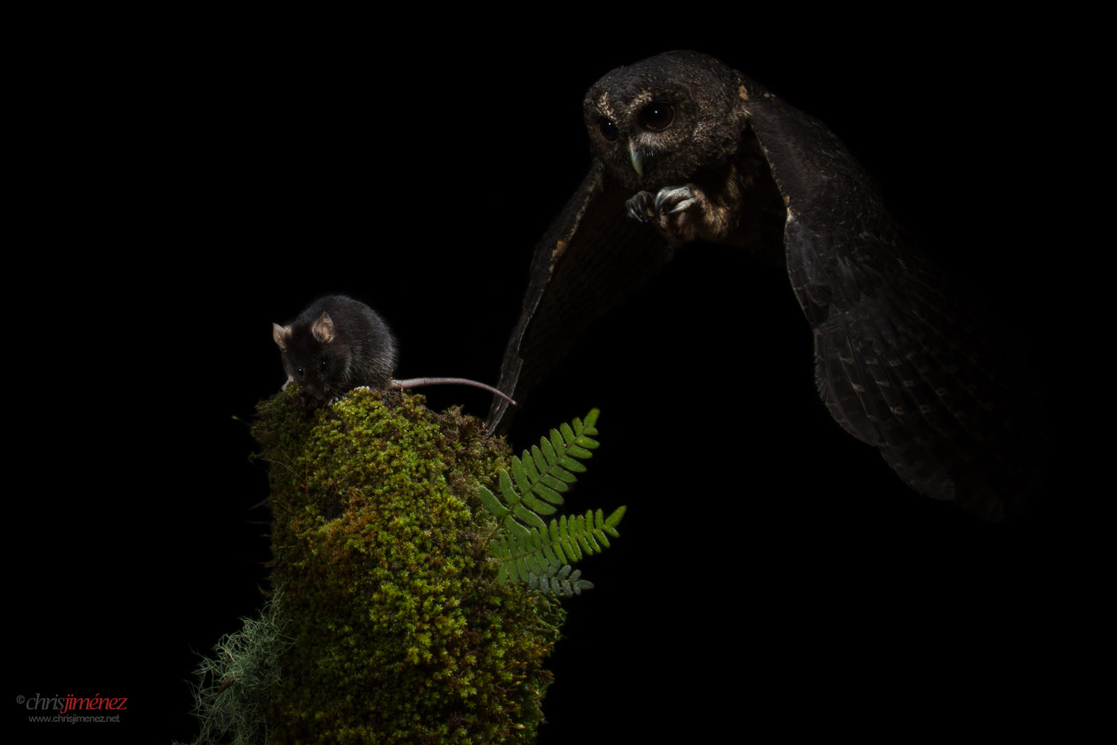 owl catching the mouse - photo #5