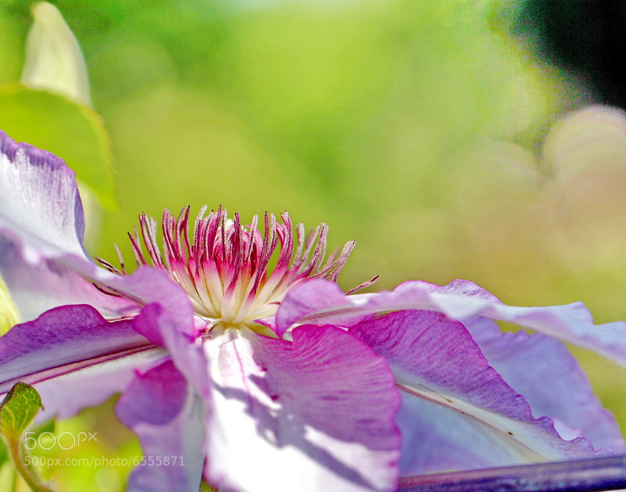 Photograph Clematis Profile by Mike Oberg on 500px