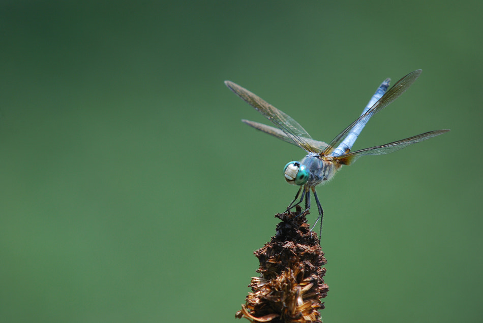 Photograph Blue Dasher by Bill Lynch on 500px
