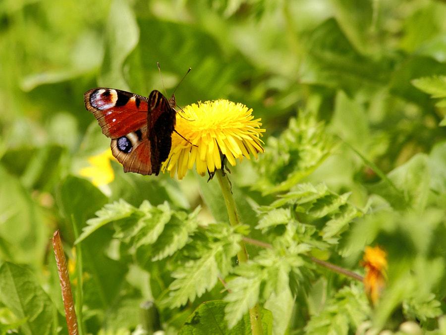 Peacock Butterfly on Dandelion