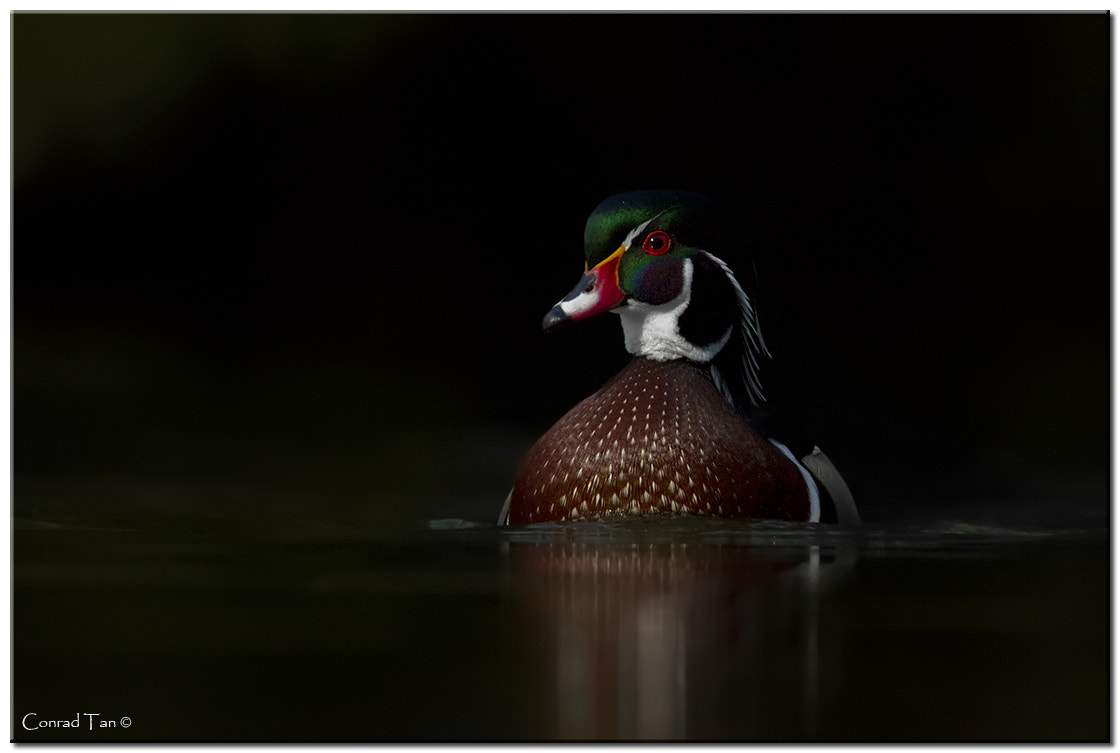 Photograph Wood Duck comes out of the darkness! by Conrad Tan on 500px