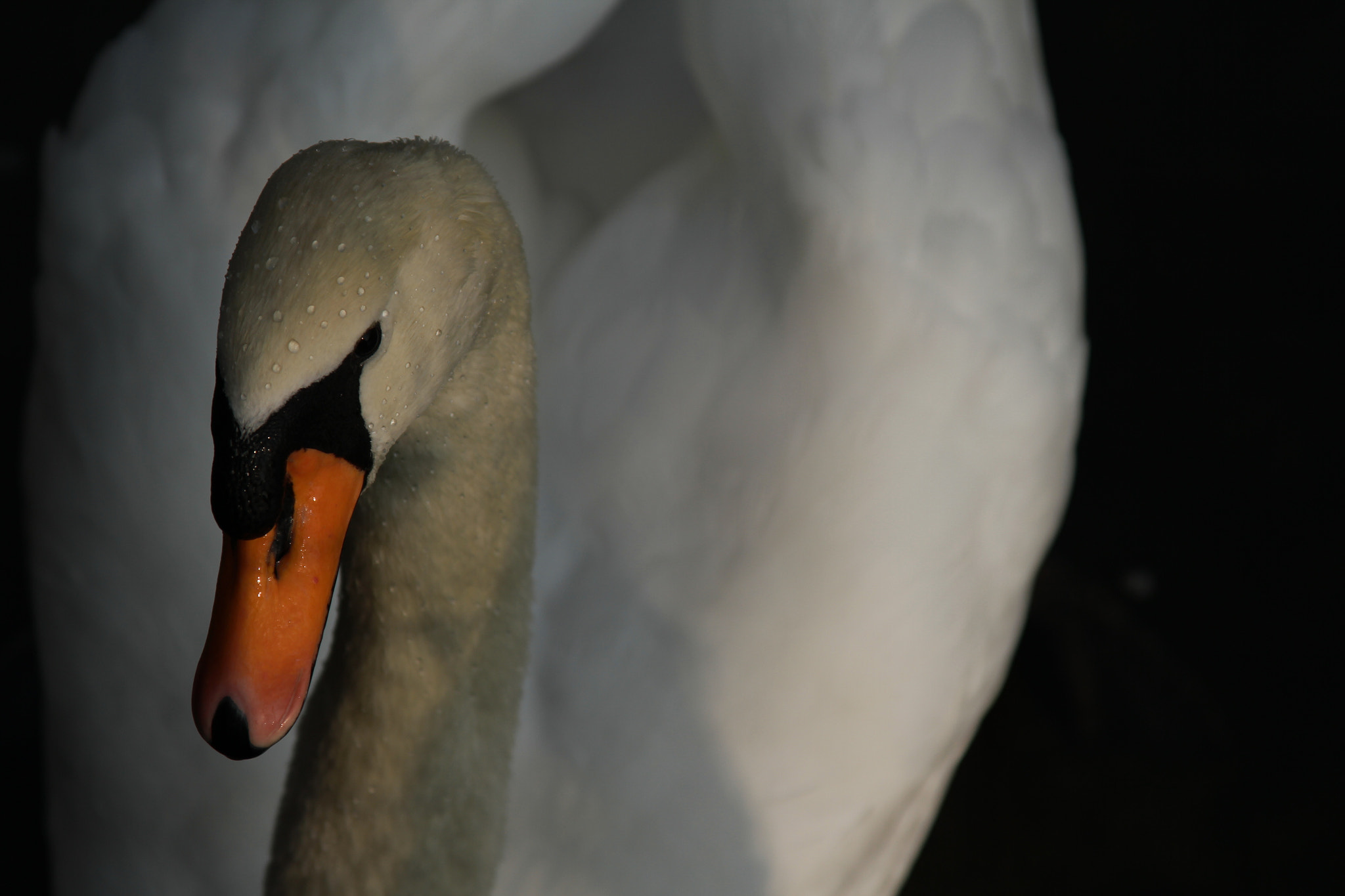 Photograph SWAN by Javier Ossa on 500px