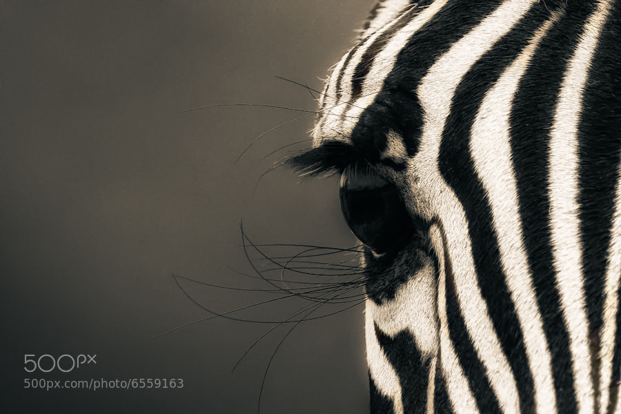 Photograph Zebra Eye II by Mario Moreno on 500px