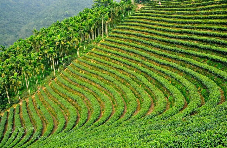 Photograph  Tea plantation by Brian Hsu on 500px