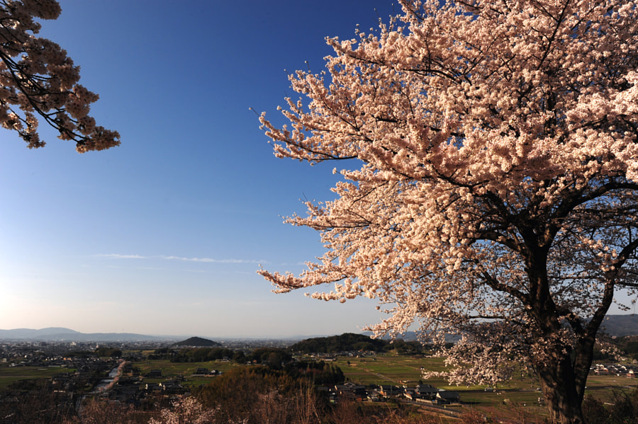 Sakura on the hill(Nara) by Hiro _R on 500px.com