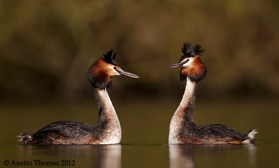 Loved up Grebes