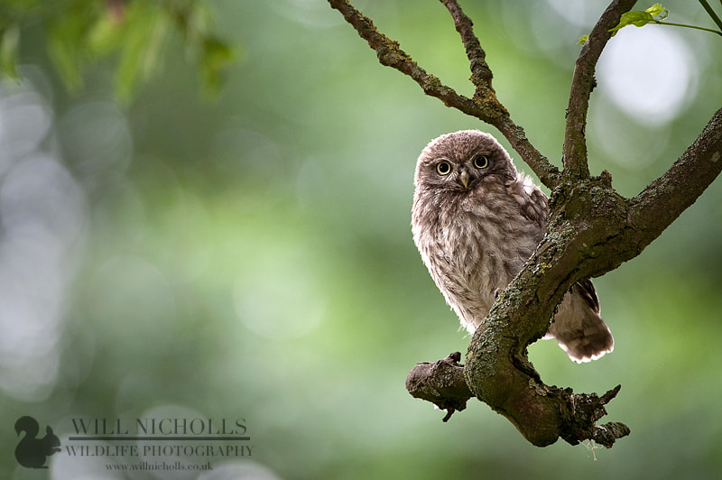 Photograph Immature Little Owl by Will Nicholls on 500px