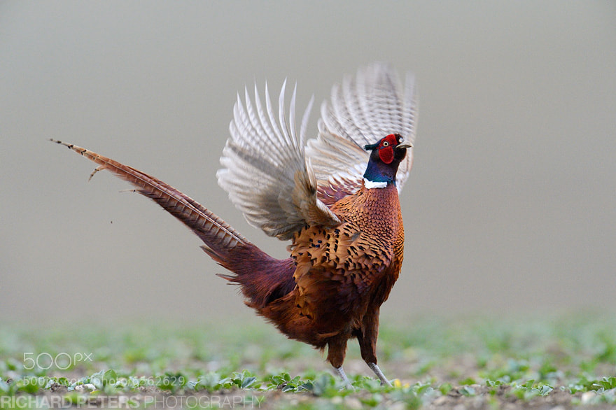 Photograph Pheasant Flap by Richard Peters on 500px