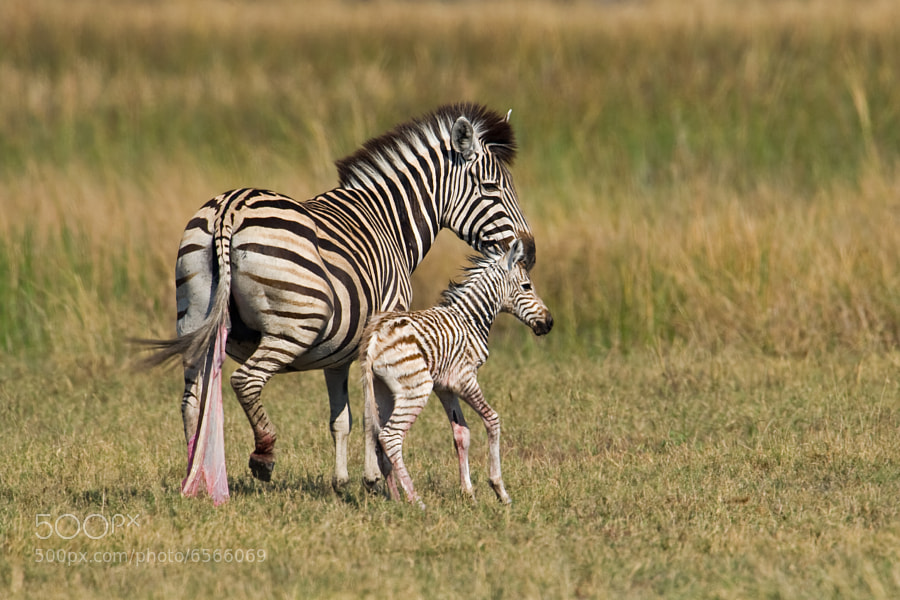 Photograph Zebra newborn of 5 mins by Marc MOL on 500px