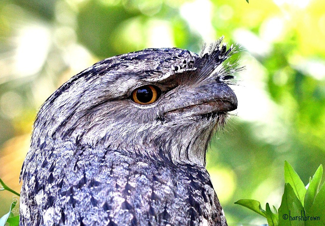 Photograph Frogmouth by Harsh Brown on 500px