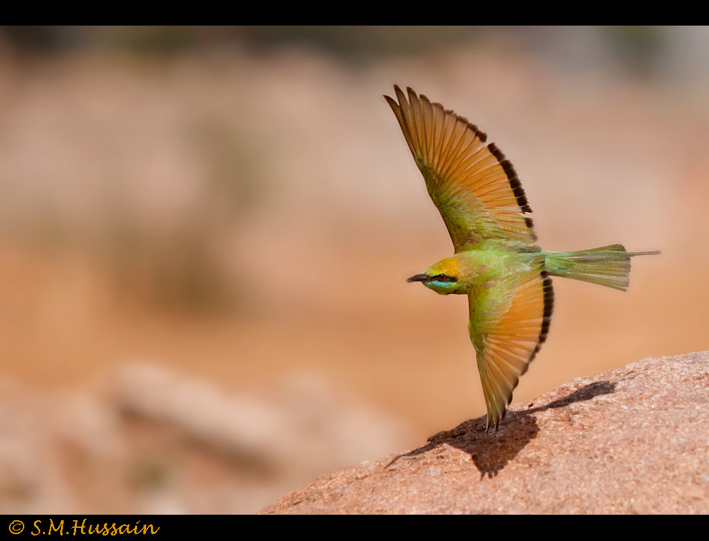 Photograph Green Bee Eater in flight by Masood Hussain on 500px