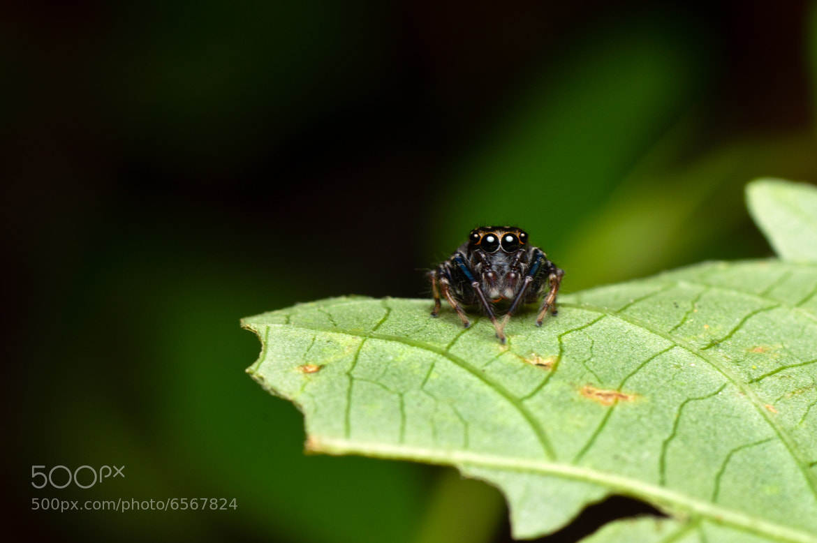 Photograph Jumping Spider by Steven Lai on 500px