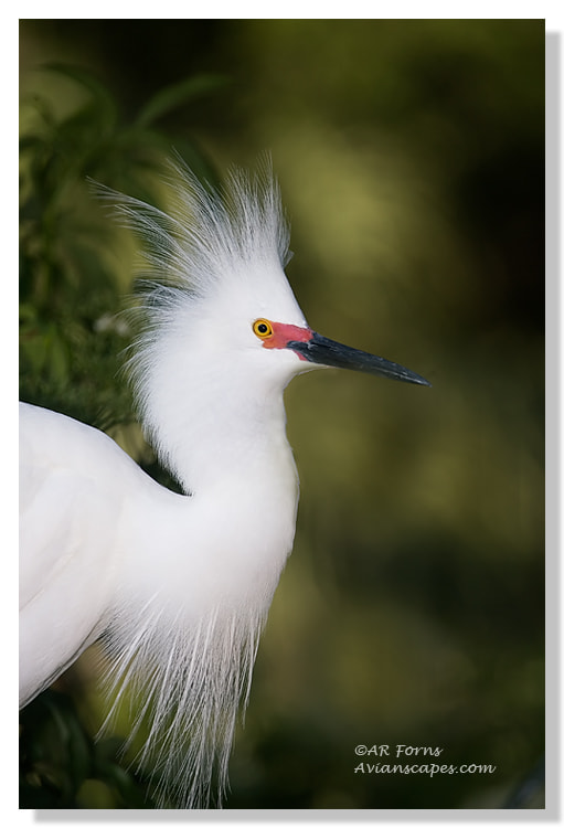 Photograph In breeding plumage !! by Alfred Forns on 500px