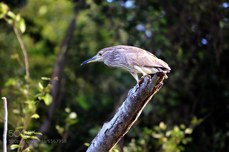 Photograph Heron Tigress by Cristobal Garciaferro Rubio on 500px