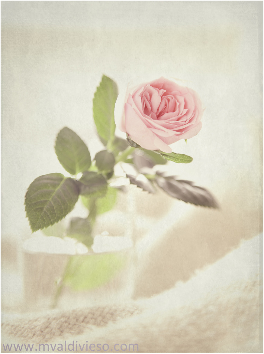 Photograph a rose by miguel valdivieso on 500px