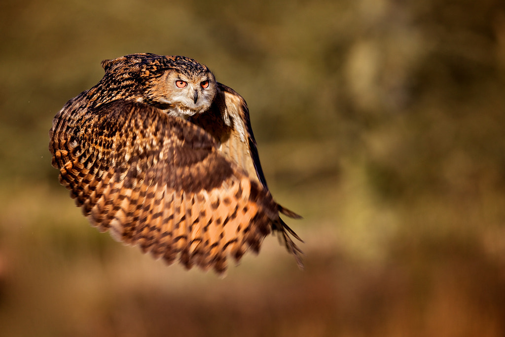 Photograph the hooded claw by Mark Bridger on 500px
