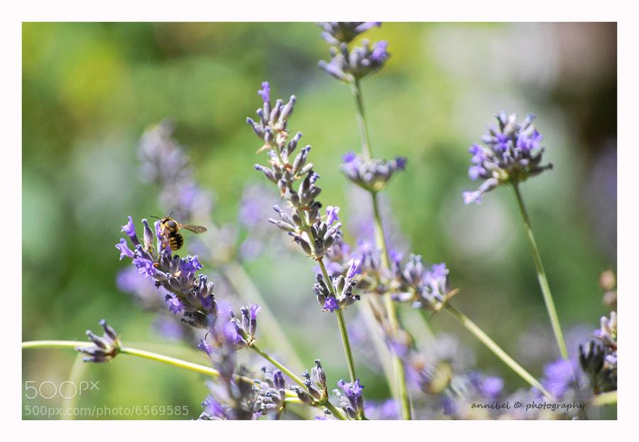 Photograph Lavender... by annibel  photography on 500px