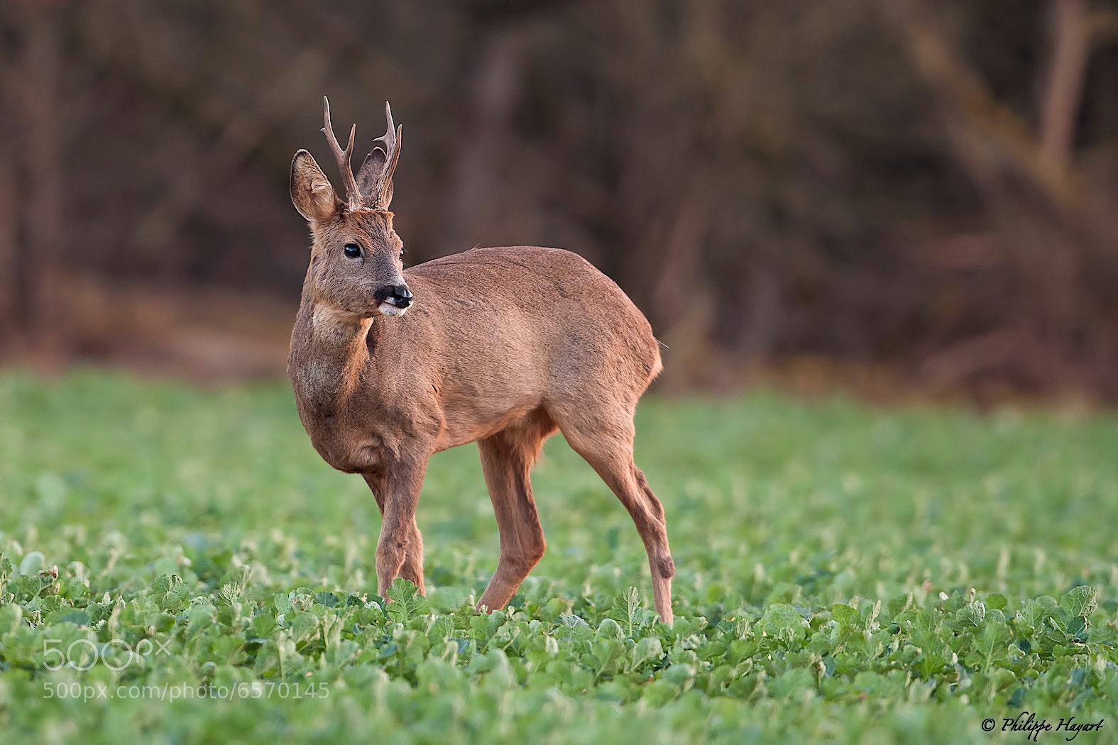 Photograph Roe deer by Philippe Hayart on 500px
