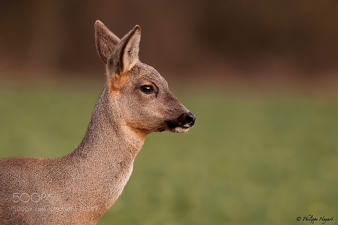 Photograph Roe deer - Portrait by Philippe Hayart on 500px