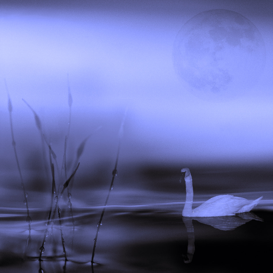 Photograph Swan lake by willy marthinussen on 500px
