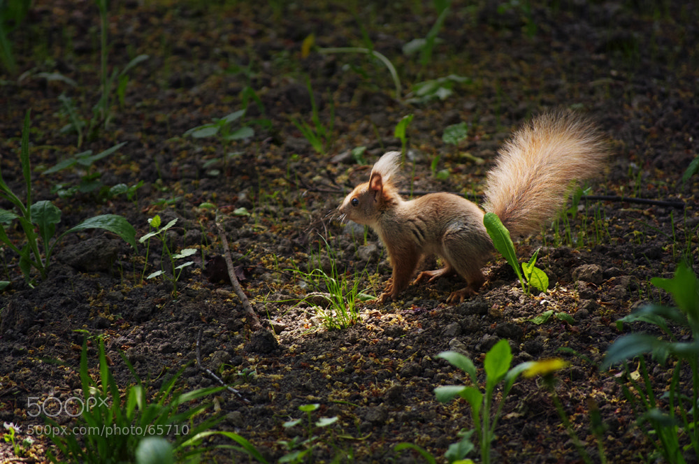 Photograph squirrel by Anna Marinenko on 500px