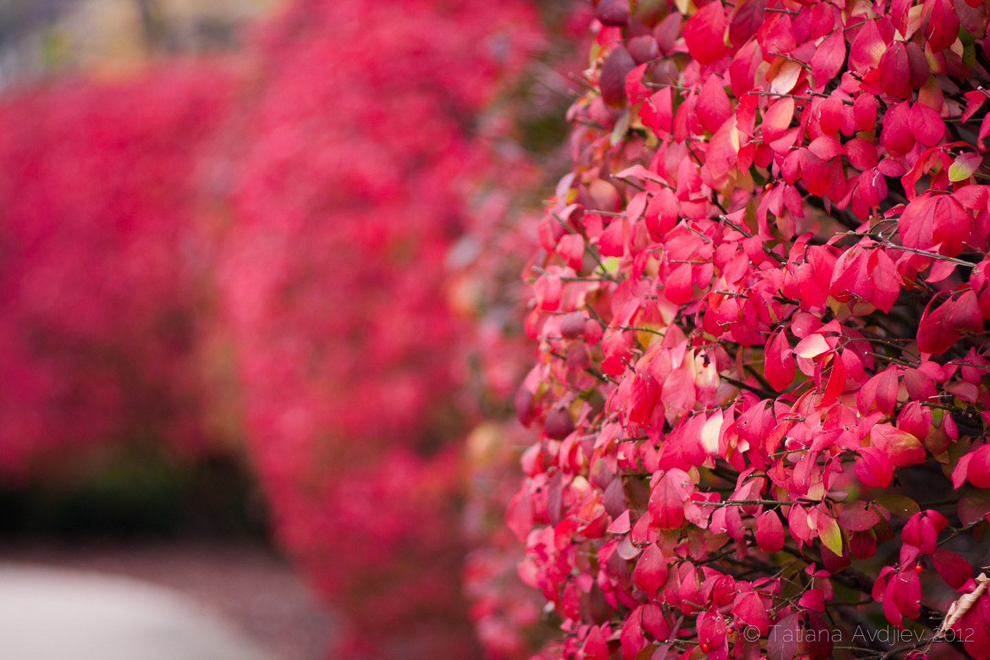 Photograph Bushes in bright pink by Tatiana Avdjiev on 500px