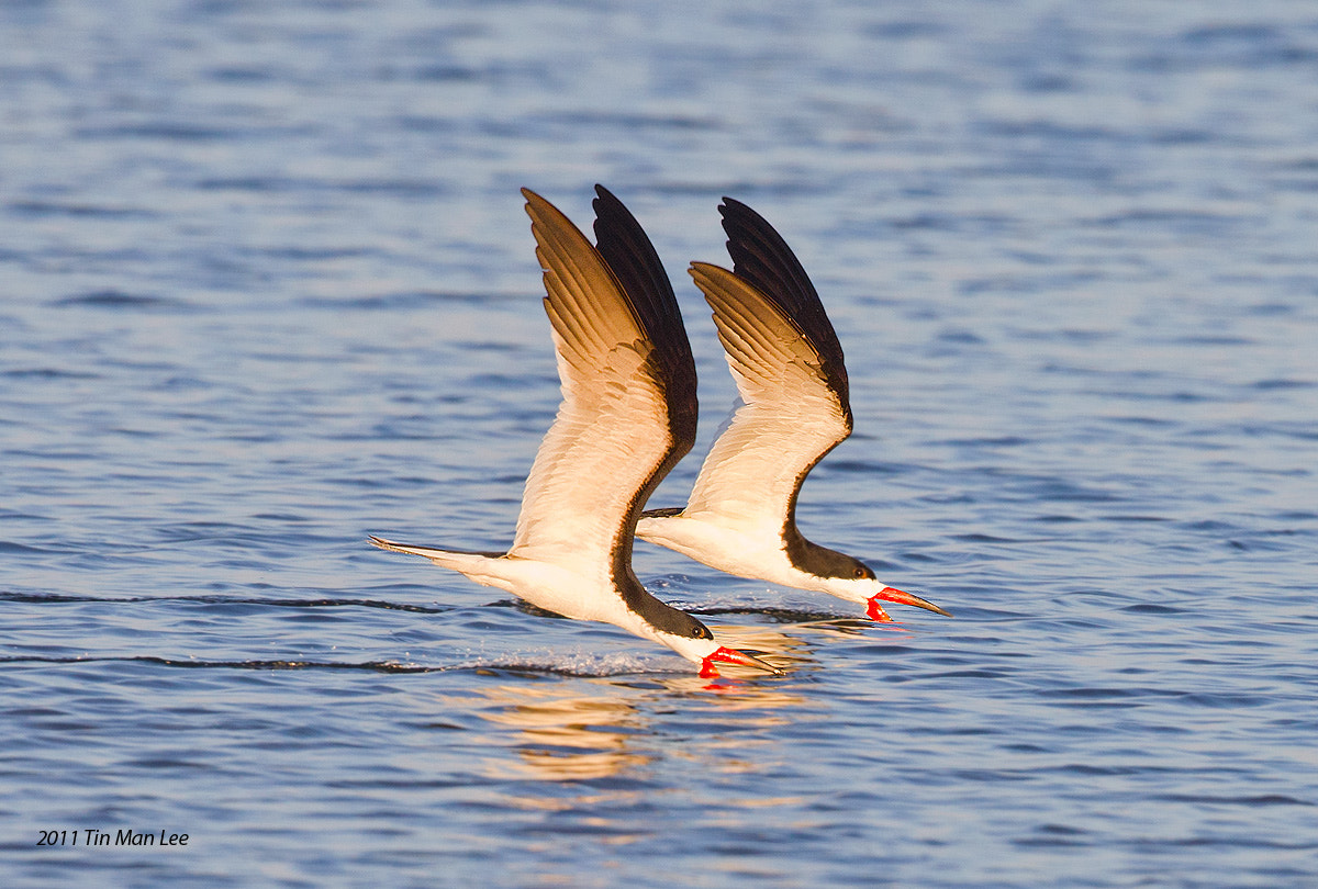 Photograph Synchronized Flying: Two Black Skimmers at Sunset by Tin Man on 500px