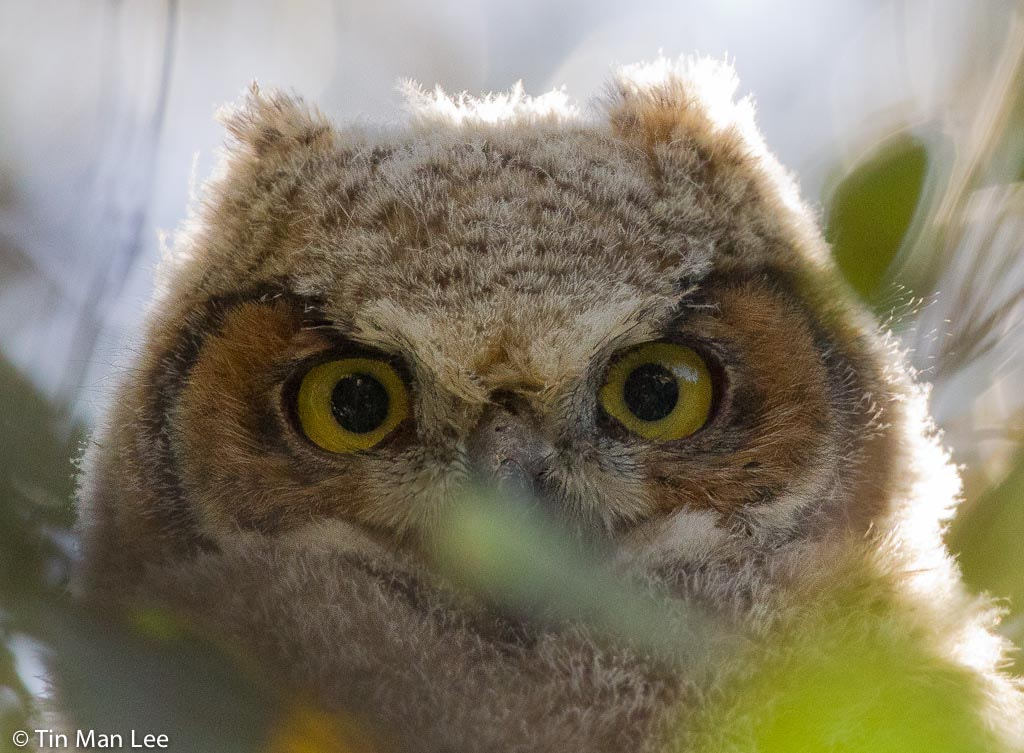 Photograph Juvi Great Horned by Tin Man on 500px