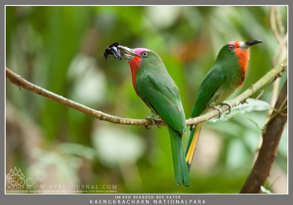 Photograph Red Beard Bee Eater by Byrd L Mongkol on 500px