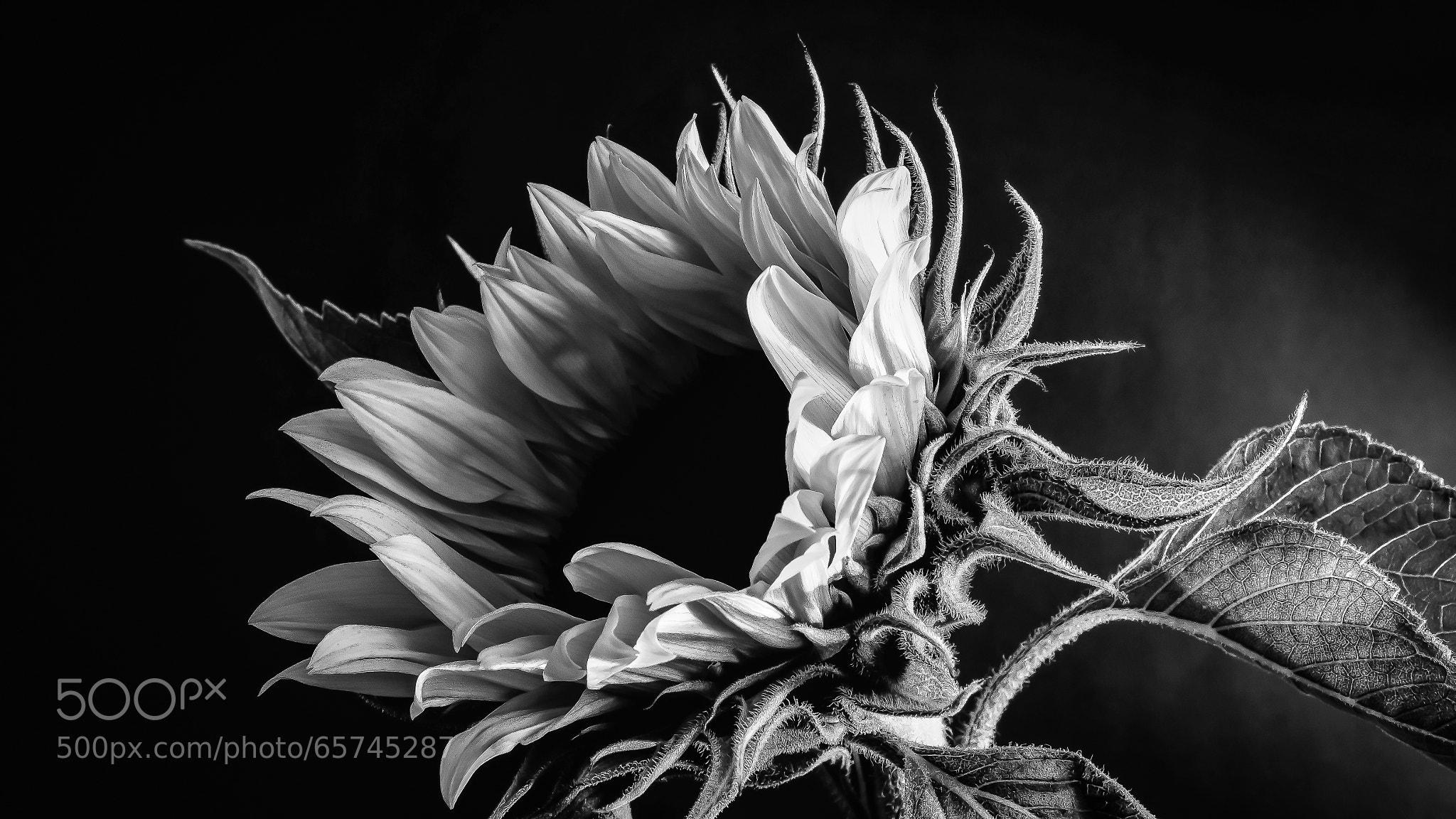 Monochromatic sunflower 2