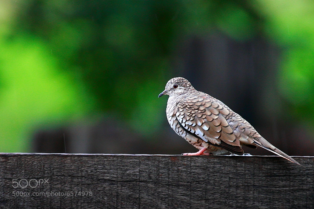 Photograph Scaled Dove by Demis Bucci on 500px