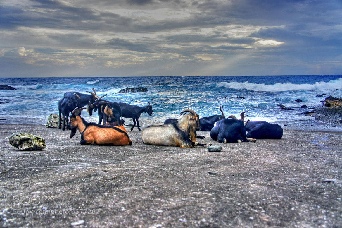 Photograph Goats in a tropical paradise by RL Yen on 500px