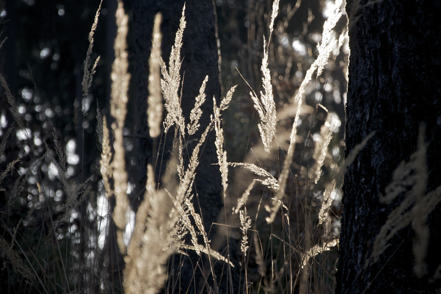 Grasses and the sun