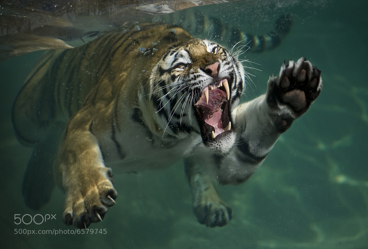Photograph Tiger swim by Mukul Soman on 500px